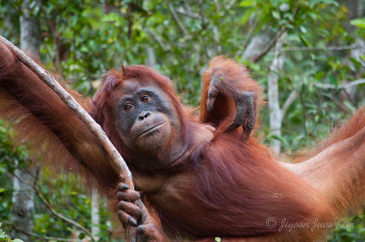 the orangutans The best guide to orangutan safaris by the primate safari experts at natural world safaris fully atol bonded.