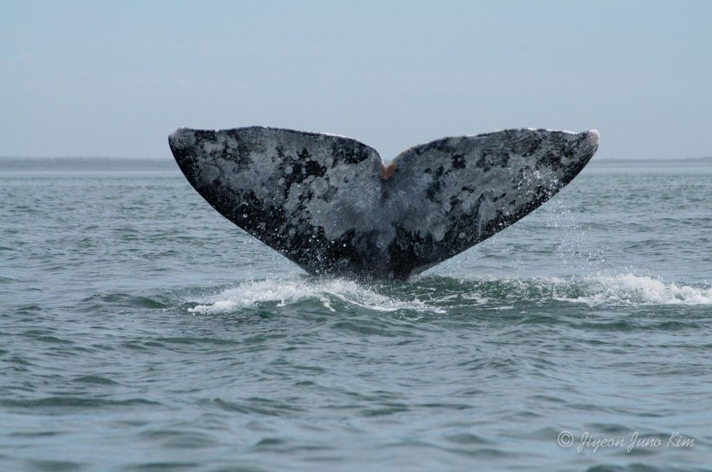 Mexico-Loreto-Whale-2414