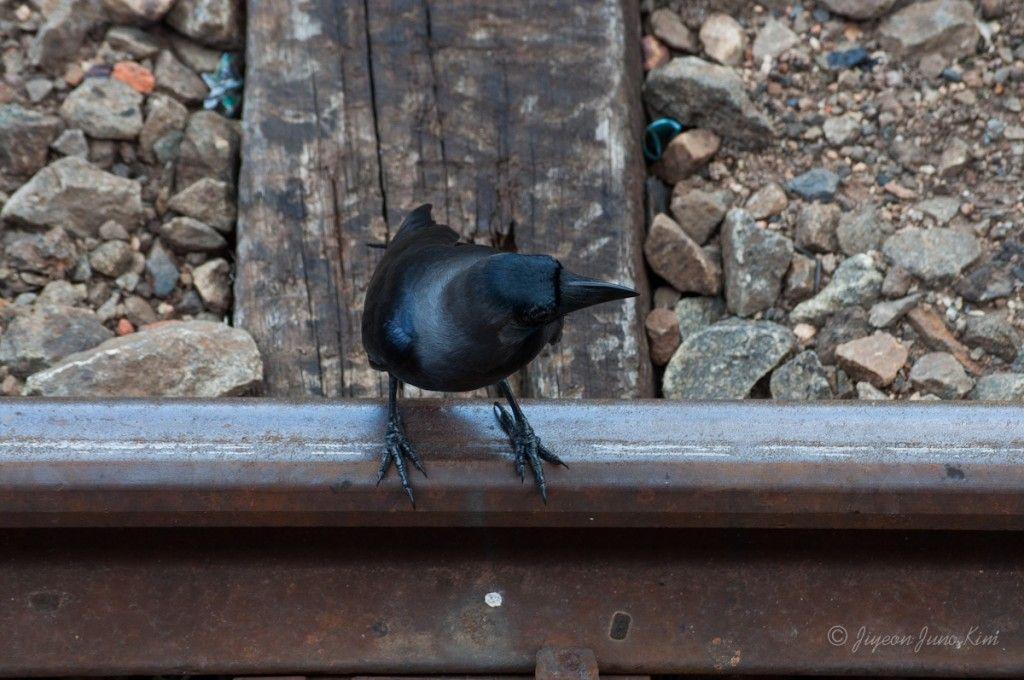 Crows are like pigeons of Sri Lanka
