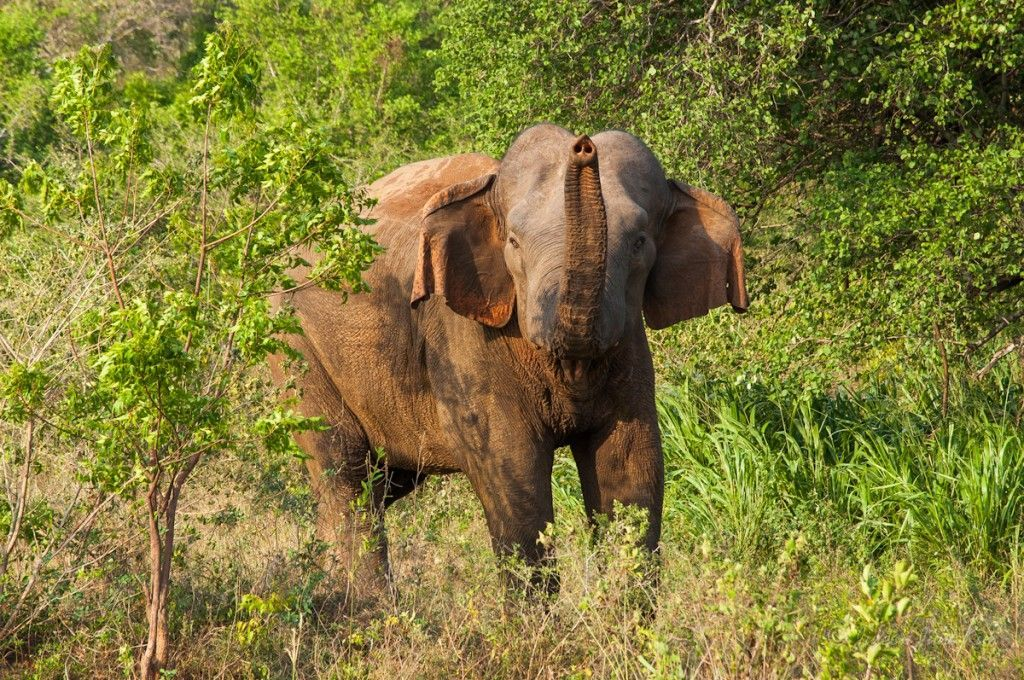 Wild Elephant in Sri Lanka