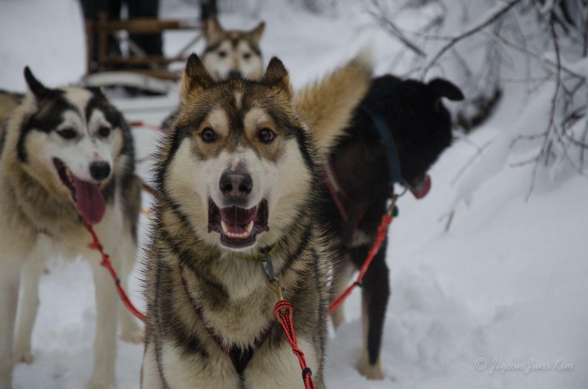 Alaskan Husky Dog Mushing