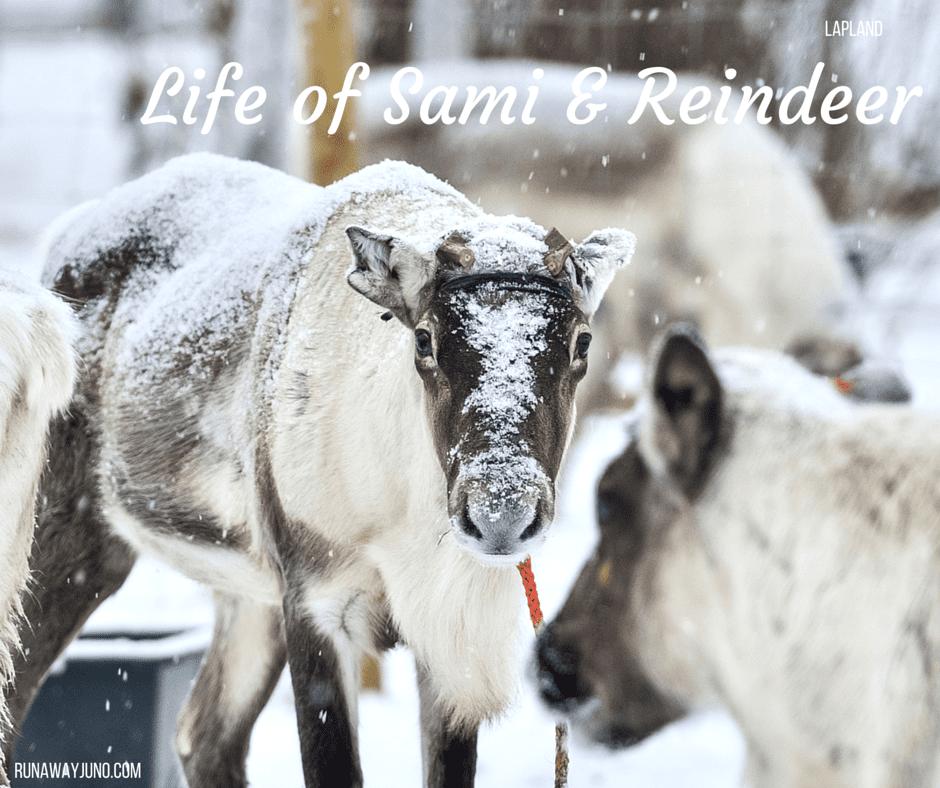 Reindeer in Utsjoki